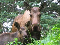 Moose cow and calf at Chicken, Alaska